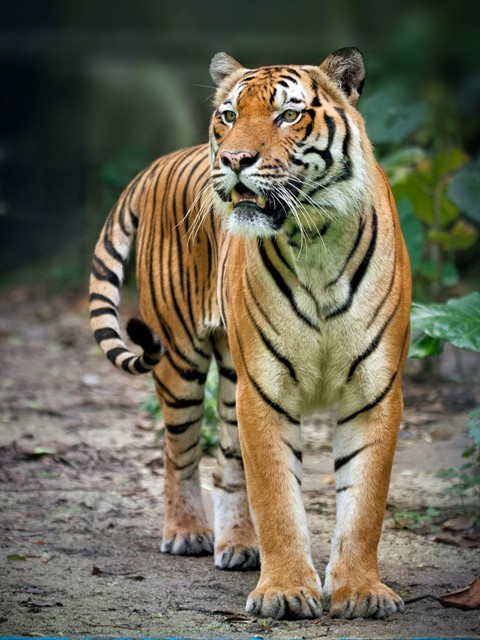 The Malayan tiger can weigh between 200 and 300 lbs and grow to up to 8 feet in length. Photography: Jake Leong