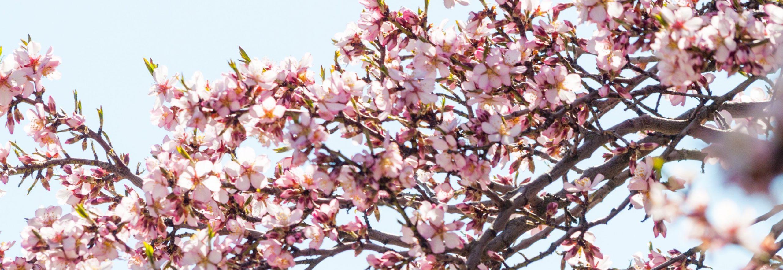 Experience the Power of Sakura with Shiseido